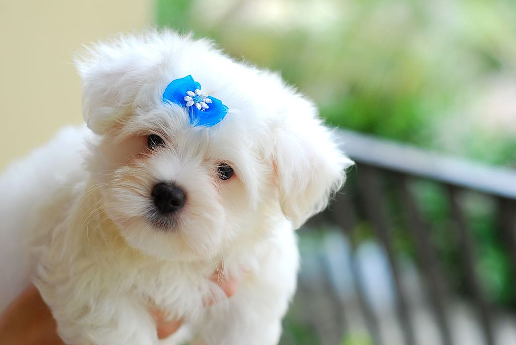 1024px-Maltese_puppy_blue_bow