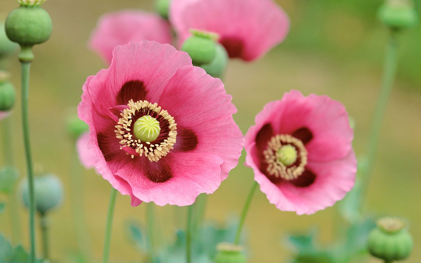 4160975-poppies-flowers