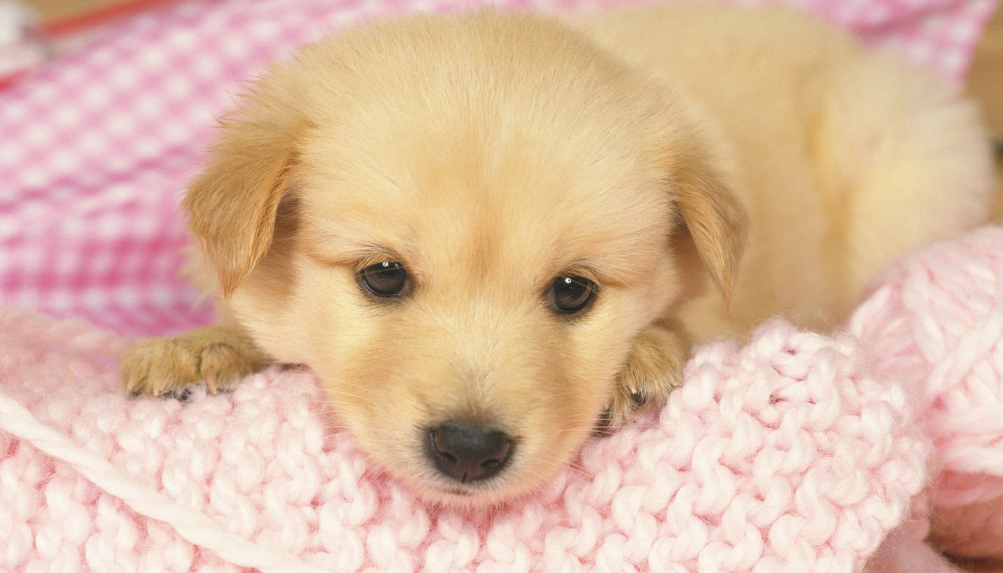 Free-puppy-wallpapers-3