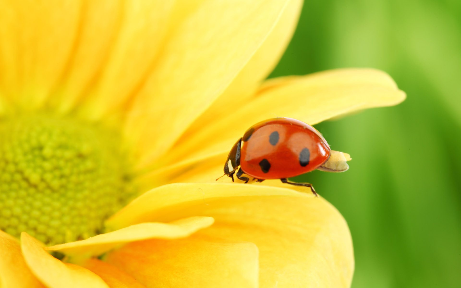 Lady-Bugs-Macro-Photography-36-22141-Cool-Wallpapers-HD