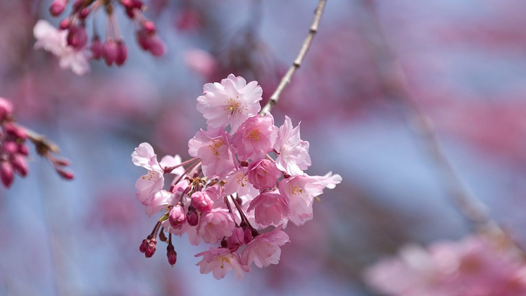 Sakura-pink-full-hd-wallpaper-Flower-spirin-wallpaper