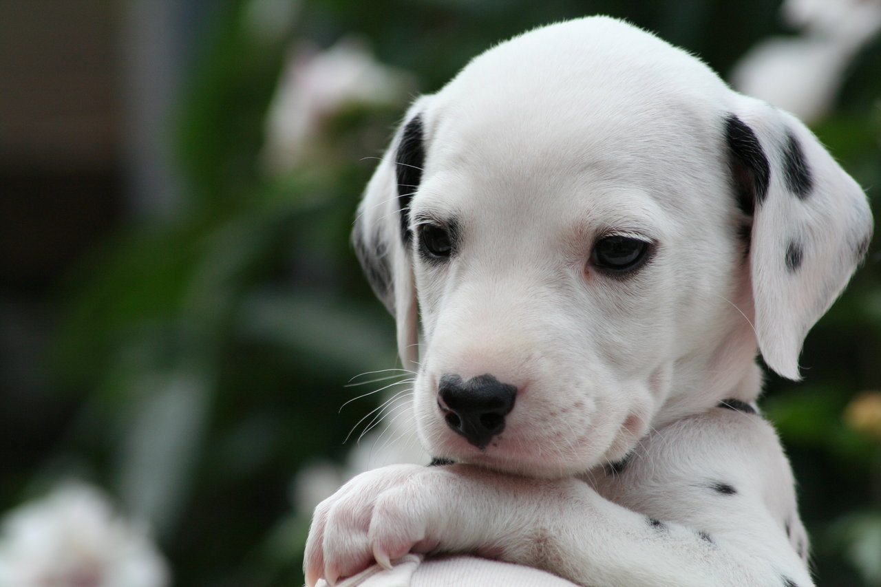 dalmation_puppy_1_by_smartierocks