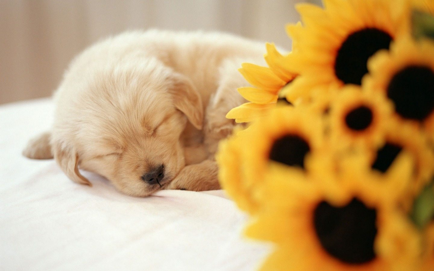 -downloadfiles-wallpapers-1440_900_widescreen-sleeping_puppy_wallpaper_dogs_animals_wallpaper_1440_900_widescreen_359