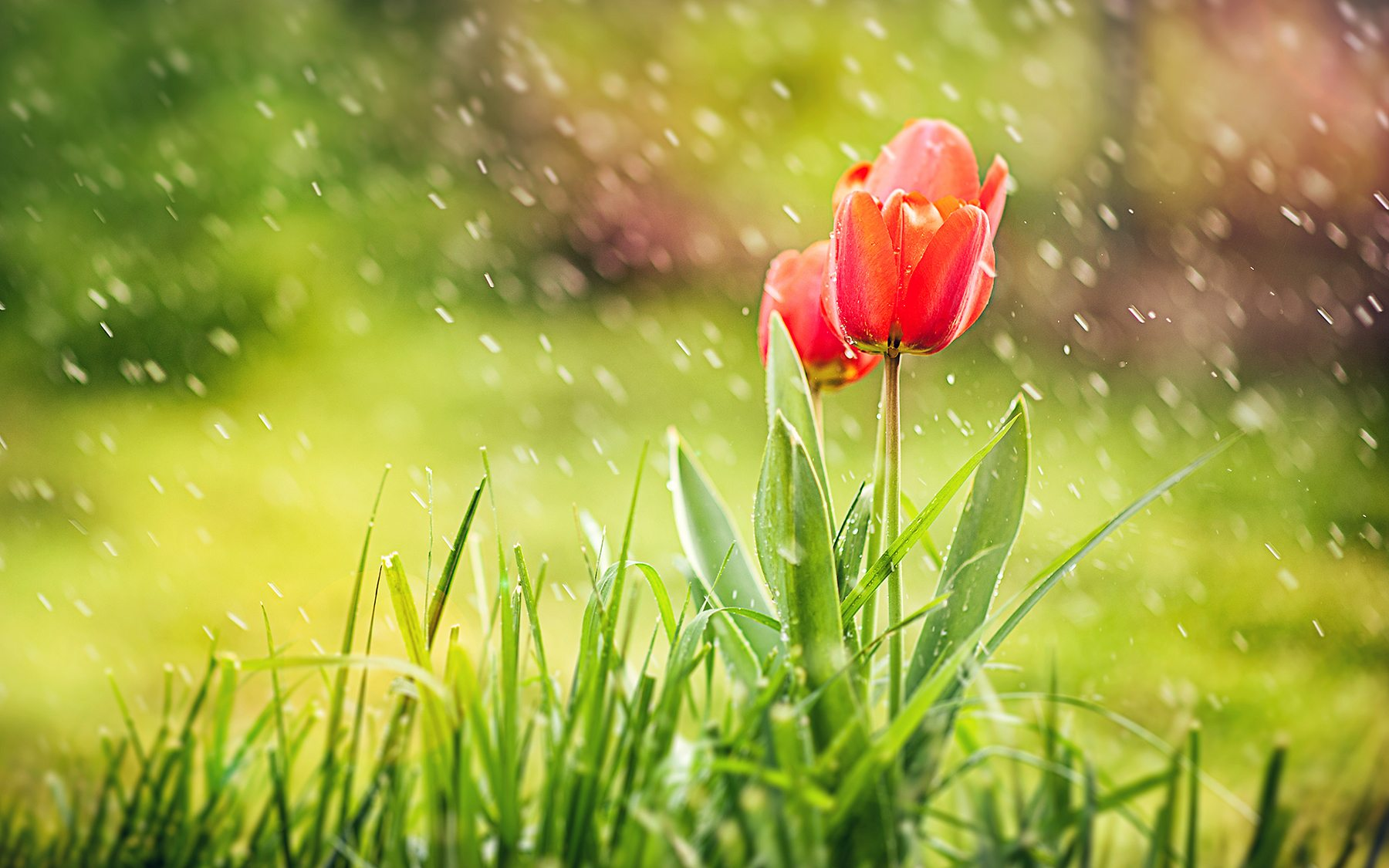 flowers-red-tulip-rain-wallpaper-42927
