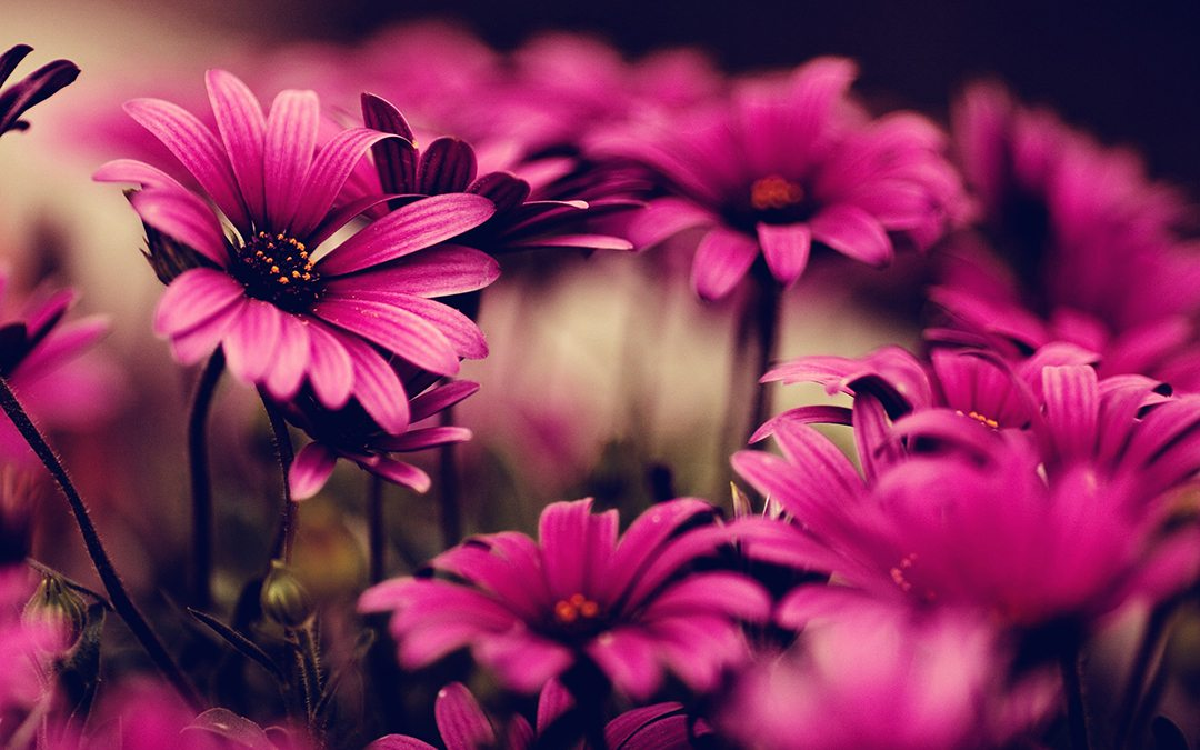 pink-flowers-wallpapers