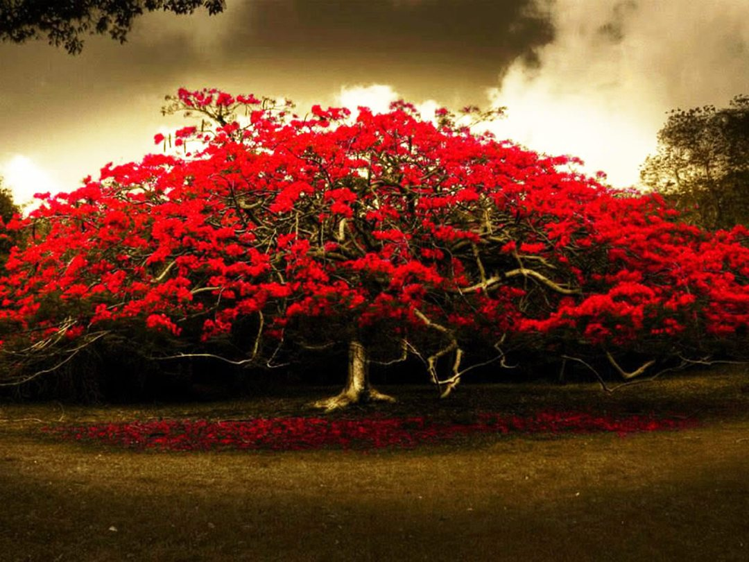 red-flowers-tree-wide-hd-wallpaper