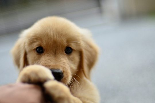 super-cute-puppy-look-awww-photo