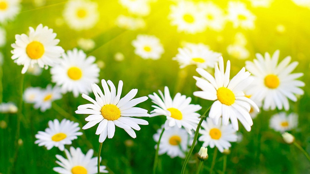 white-flowers-images-and-wallpapers-4