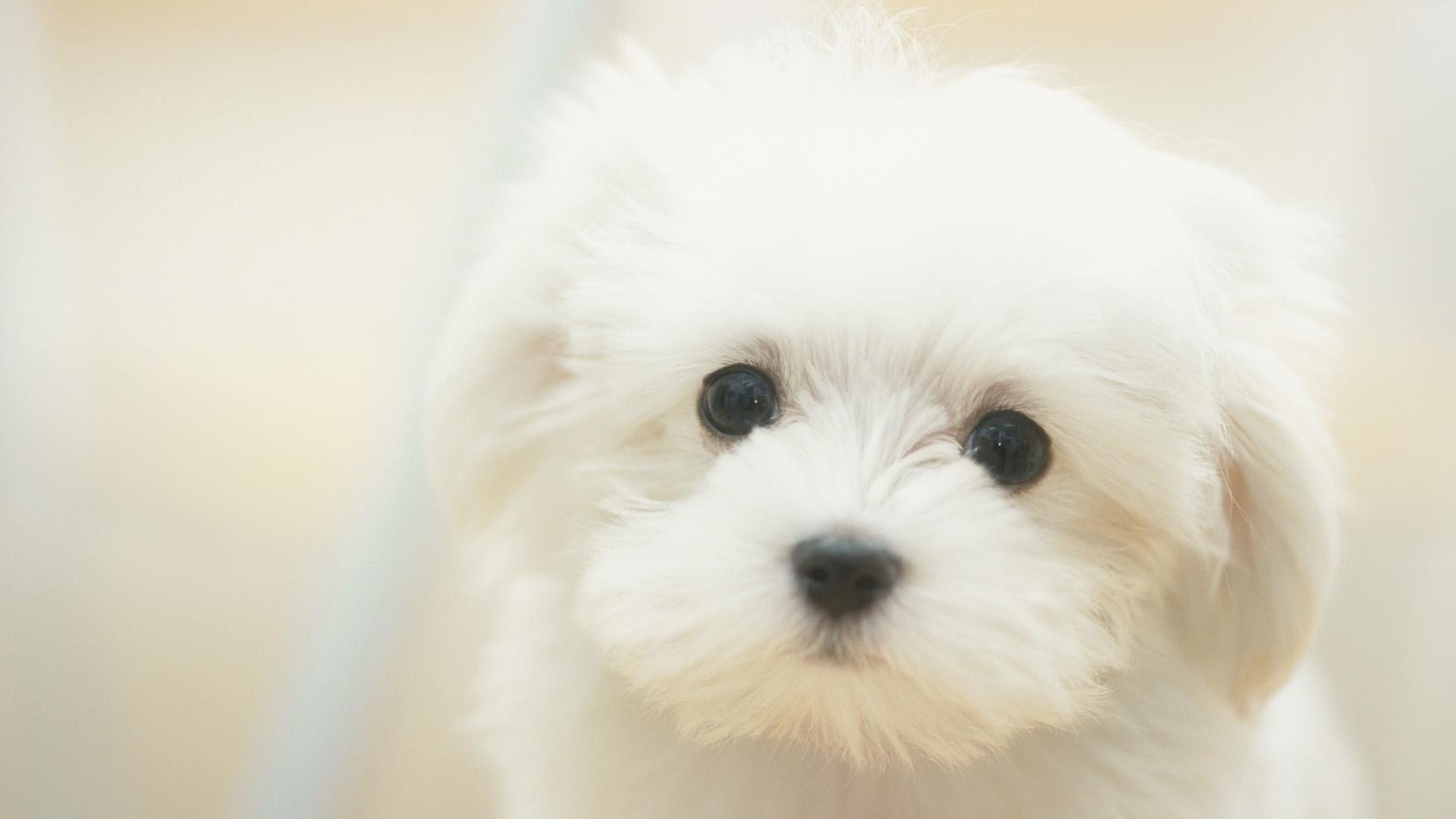 white_maltese_dog